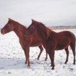 Horses Impounded by Garfield County To be sold to the Highest Bidder