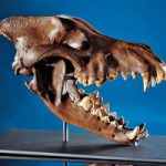 Rare Ice Age Dire Wolf skull from the Le Brea Tar Pit Formation for Auction