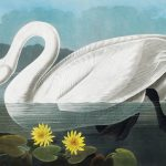 First edition of John James Audubon The Birds of America for Christie's auction