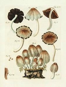 Schaeffer's Fungorum